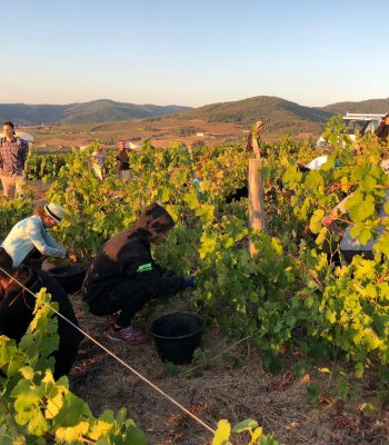 winobranie praca