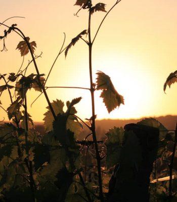 winogrona zachod-min